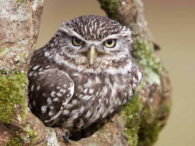 little-owl-david-chapman